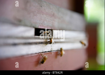 2 honey bees at entrance to a beehive - Stock Photo