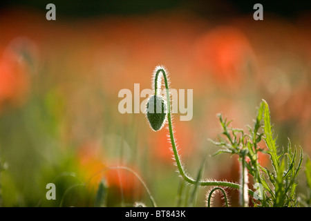 A closed red poppy bud - Stock Photo