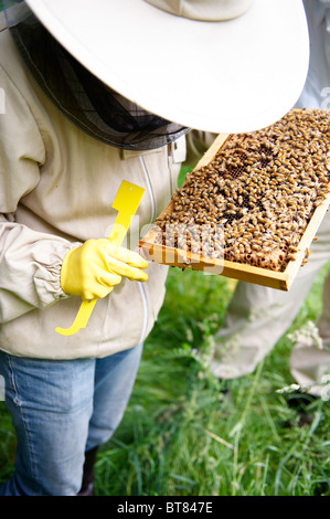 Woman in protective clothing checking a frame of honey bees from a hive - Stock Photo