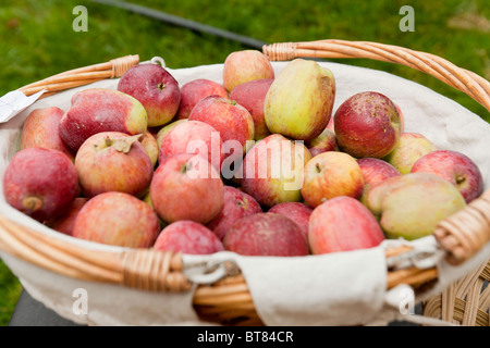 Apples in a basket. - Stock Photo
