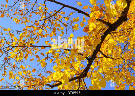 Linde im Herbst - lime tree in fall 01 - Stock Photo