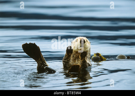 Sea Otter (Enhydra lutris), Alaska, USA - Stock Photo