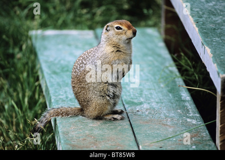 Arctic Ground Squirrel (Spermophilus parryii), Katmai National Park, Alaska, USA - Stock Photo
