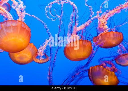 Sea nettles (Chrysaora fuscescens) at the Monterey Bay Aquarium, Monterey, California - Stock Photo