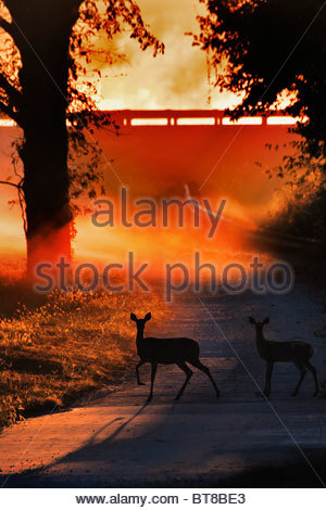 Doe and Fawn White tail Deer Crossing a Country road at sunrise in the backlet fog - Stock Photo