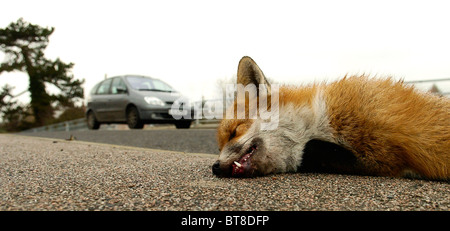 A dead fox lies in the gutter after being hit by a car on the Preston Road, Nr Plucks Gutter, Kent, 12th January - Stock Photo