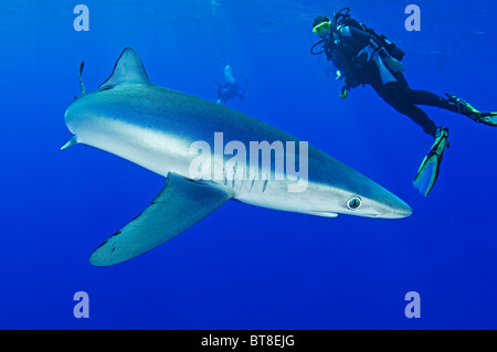 Blue Shark and scuba diver, Prionace glauca, Azores, Portugal, Atlantic Ocean - Stock Photo