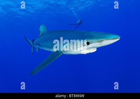 Blue Shark and scuba diver, Prionace glauca, Azores, Portugal, Atlantic Ocean - Stock Photo