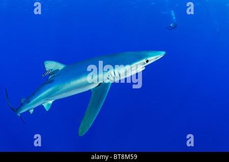 Blue Shark and scuba diver, Prionace glauca,  Naucrates ductor, Azores, Portugal, Atlantic Ocean - Stock Photo