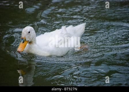 White duck swimming on black water - Stock Photo