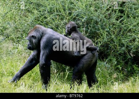Western Lowland Gorilla (Gorilla gorilla gorilla), adult, female, African habitat - Stock Photo
