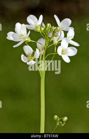 Cuckoo Flower or Lady's Smock (Cardamine pratensis), flower - Stock Photo