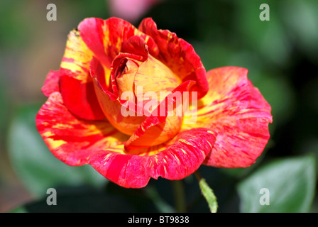 Macro of a colourful rose - Stock Photo