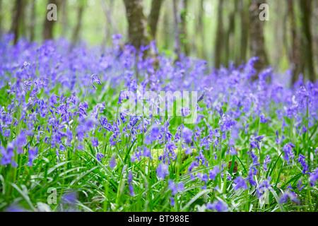 Spring bluebells, Dorset, England - Stock Photo