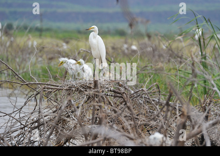 Western Great egret - Common egret - Great white egret (Ardea alba - Egretta alba) adult on nest with two fledged - Stock Photo