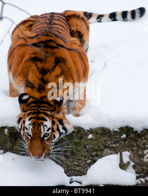 A crouching tiger near water - Stock Photo