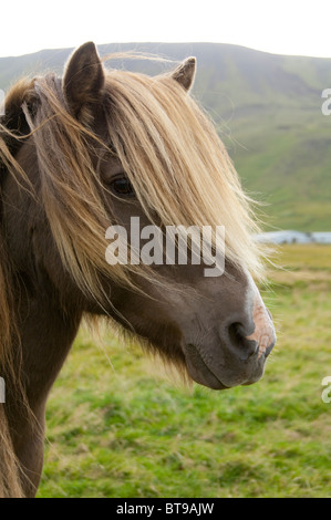 Iceland, Porsmork Park. Special breed, pure Icelandic horse. Chestnut colored mare with long mane. - Stock Photo