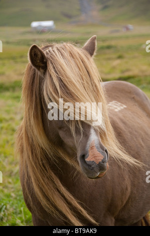 Iceland, Porsmork Park. Special breed, pure Icelandic horse. Chestnut colored mare with long mane, freeze brand - Stock Photo