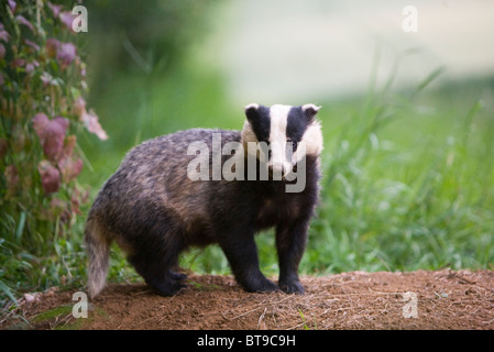 Badger (Meles meles) by the entrance to sett at the edge of a wood and a wheat field. Oxfordshire, England, June - Stock Photo