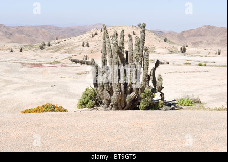 Cacti on the way to Los Lomitas are covered by lichen surviving due to persist fog Parque National Pan de Azucar - Stock Photo