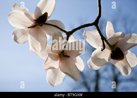 Three magnolia flowers - Stock Photo