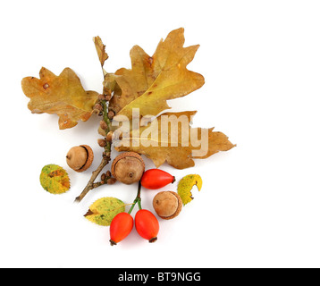 Oak twig with rose hips and acorns - Stock Photo