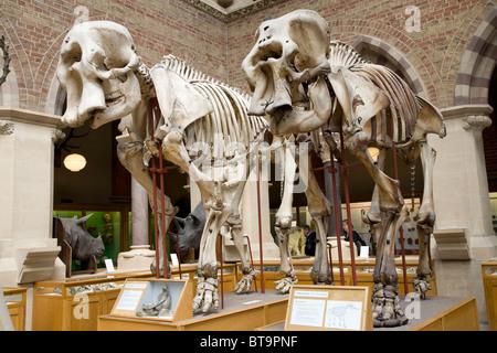 Elephant Skeletons, Oxford University, Museum of Natural History. Oxford. England - Stock Photo