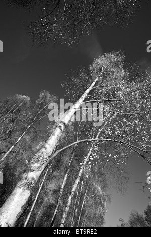 Black & White Image of Tall Silver Birch Tree angled against the Sky, Scotland, UK - Stock Photo