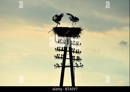 Storks stork in the Biebrza River Reservation in Podlasie Region, Poland - Stock Photo