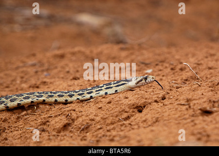 Great Basin gopher snake (Pituophis catenifer deserticola), USA, America - Stock Photo