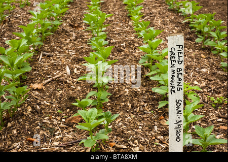 Field beans 'Wizard' sown as a green manure to improve soil fertility at Painswick Rococo Garden in the Cotswolds - Stock Photo