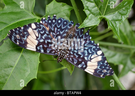 Photo of a blue cracker butterfly (Hamadryas amphinome) - Stock Photo
