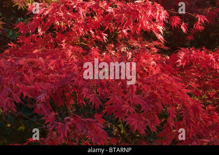Japanese Acer Maple in Autumnal Colours at Westonbirt Arboretum - Stock Photo