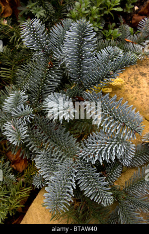 Closeup photograph of Abies Procera Glauca Prostata, a low spreading form of the Blue Noble Fir. - Stock Photo