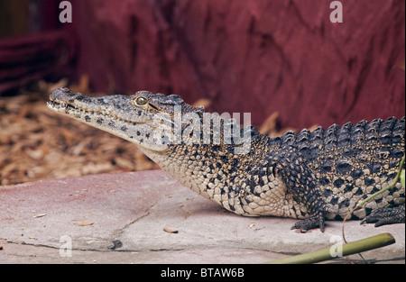 Cuban Crocodile (crocodylus rhombifer) - Stock Photo