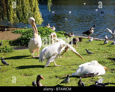 Pelicans and other birds, St James Park, London, England, UK - Stock Photo