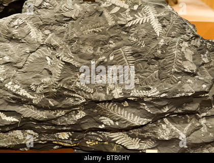 Seed fern fossil from the Carboniferous period - Stock Photo