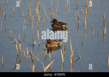 A pair of male Teal ducks, River Teifi, Cardigan, Ceredigion, Wales, United Kingdom - Stock Photo