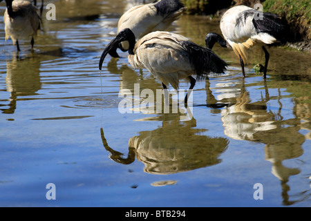African sacred Ibis  (Threskiornis aethiopicus) drinking water,at Intaka Island Bird Sanctuary near Cape Town, South - Stock Photo