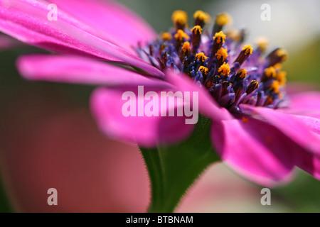 macro shot of pink flower center - Stock Photo