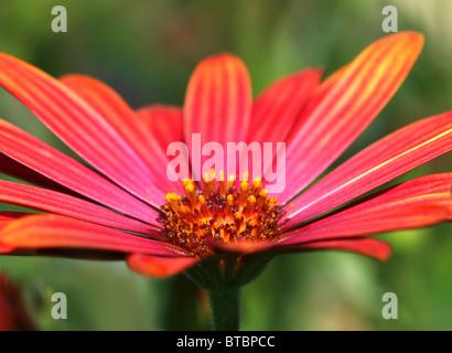 macro shot of red daisy flower center - Stock Photo