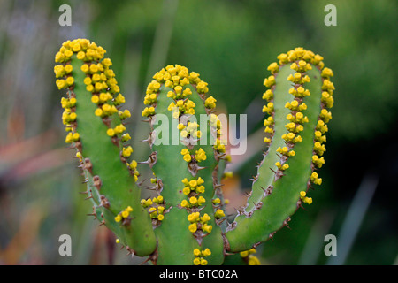 Yellow flowers of Euphorbia lendienii cactus in Kirstenbosch National Botanical Gardens, Cape Town, South Africa. - Stock Photo