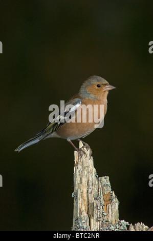 Male Chaffinch Fringilla coelebs in natural woodland habitat.  SCO 6861 - Stock Photo