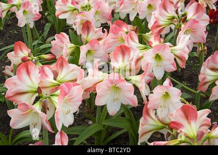 Amaryllis Flower Eden Project United Kingdom - Stock Photo