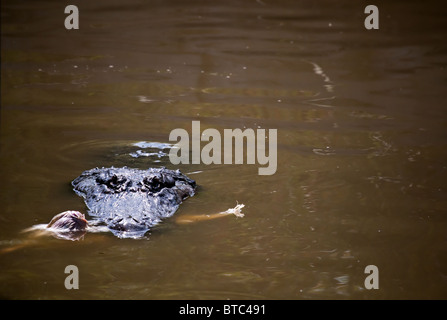 An American Alligator with food in it's mouth staring at you! - Stock Photo