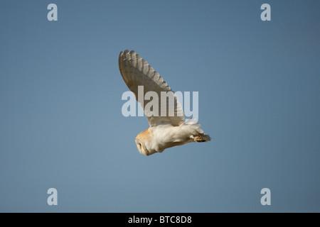 Barn Owl, Tyto alba, Norfolk, UK - Stock Photo