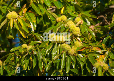 maturing sweet chestnut fruits - Stock Photo