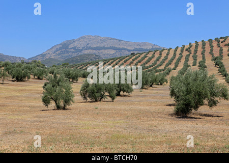 Olives groves in Andalusia, Spain - Stock Photo