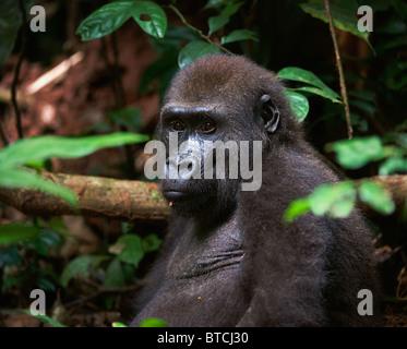 Portrait of Western Lowland Gorilla in a native habitat. Congo. - Stock Photo
