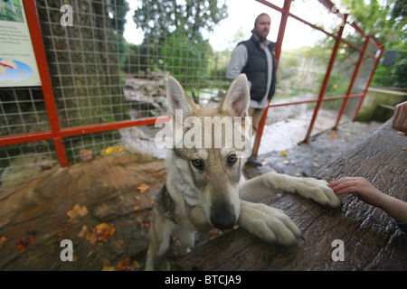 Shaun Ellis of Wolf Pack Management with one of his wolves, Combe Martin Wildlife Park, Devon, England - Stock Photo